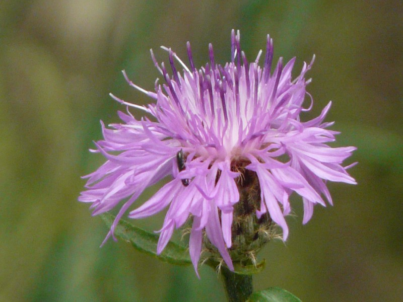 Centaurea nigrescens 1