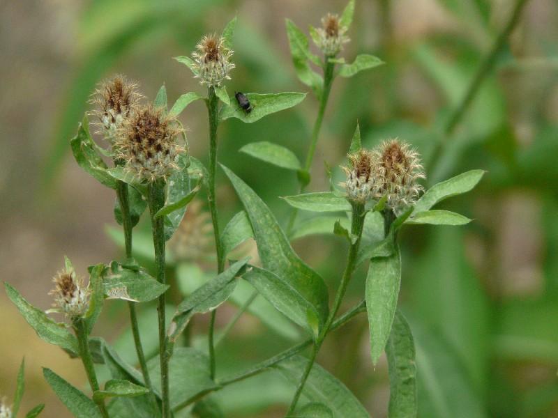 Centaurea nigrescens 2