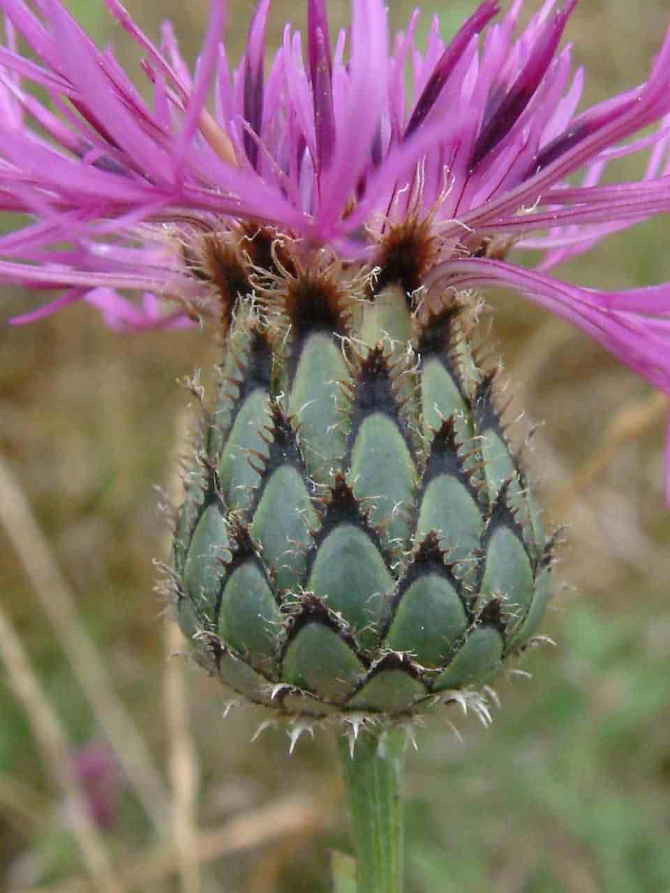 Centaurea scabiosa 2