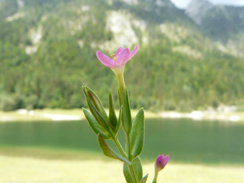 Centaurium pulchellum 1