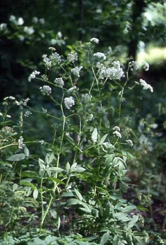 Chaerophyllum aromaticum 1
