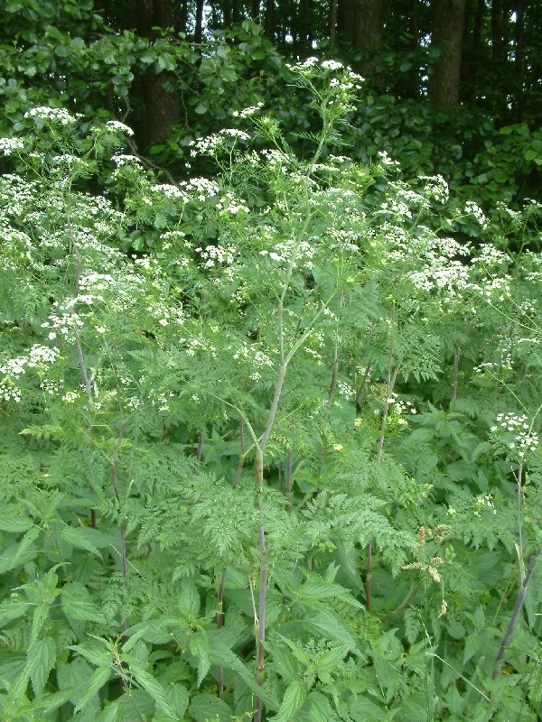 Chaerophyllum bulbosum 1