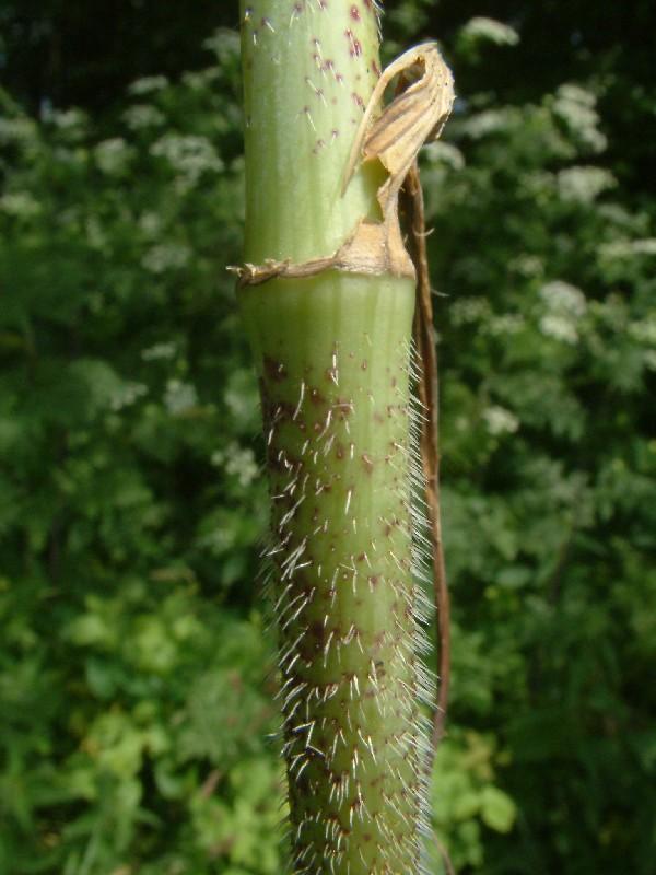 Chaerophyllum bulbosum 4
