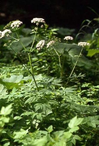 Chaerophyllum hirsutum 1