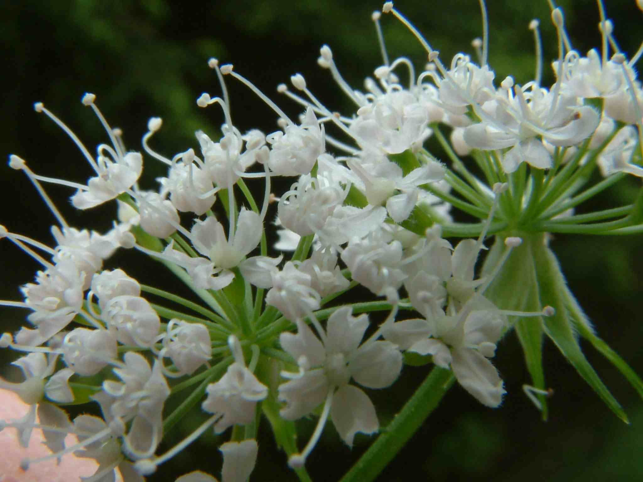Chaerophyllum hirsutum 2