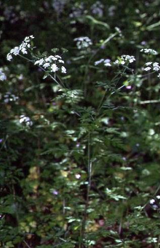 Chaerophyllum temulum 1