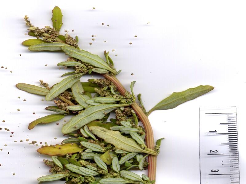 Chenopodium glaucum 3