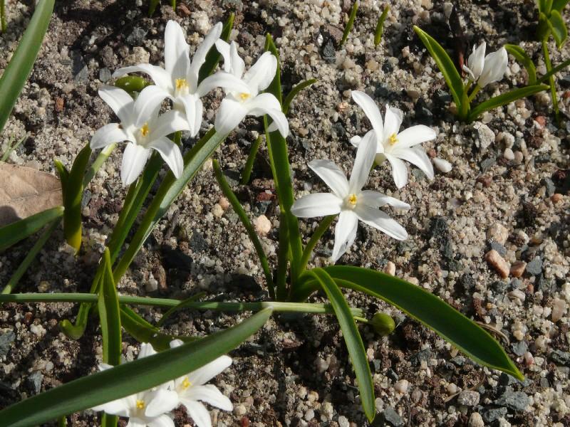 Chionodoxa luciliae 1