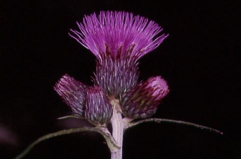 Cirsium rivulare 2