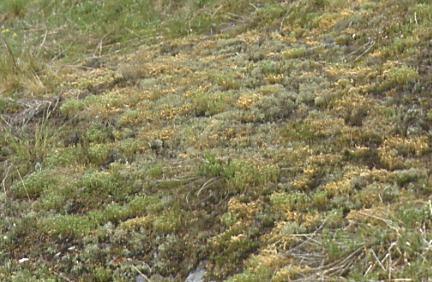Trockenrasen mit Cladonia-Flechten