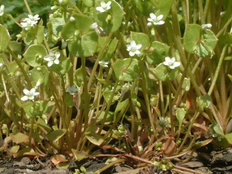 Claytonia perfoliata 1