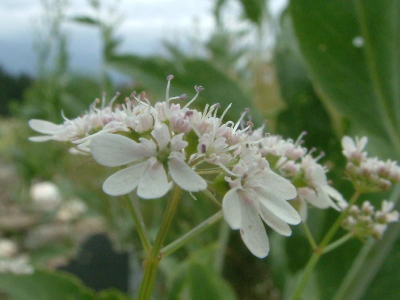 Coriandrum sativum 2