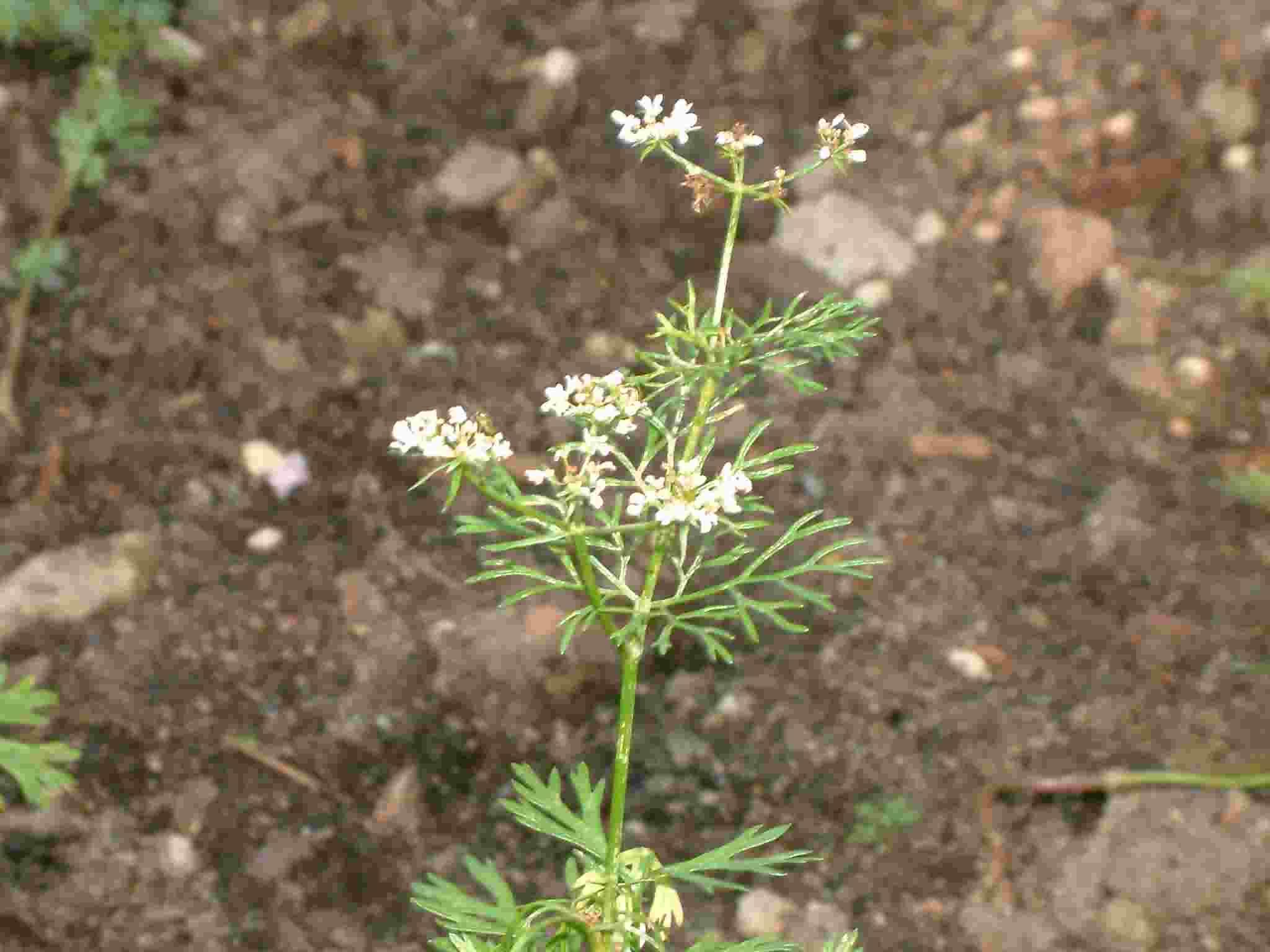 Coriandrum sativum 1