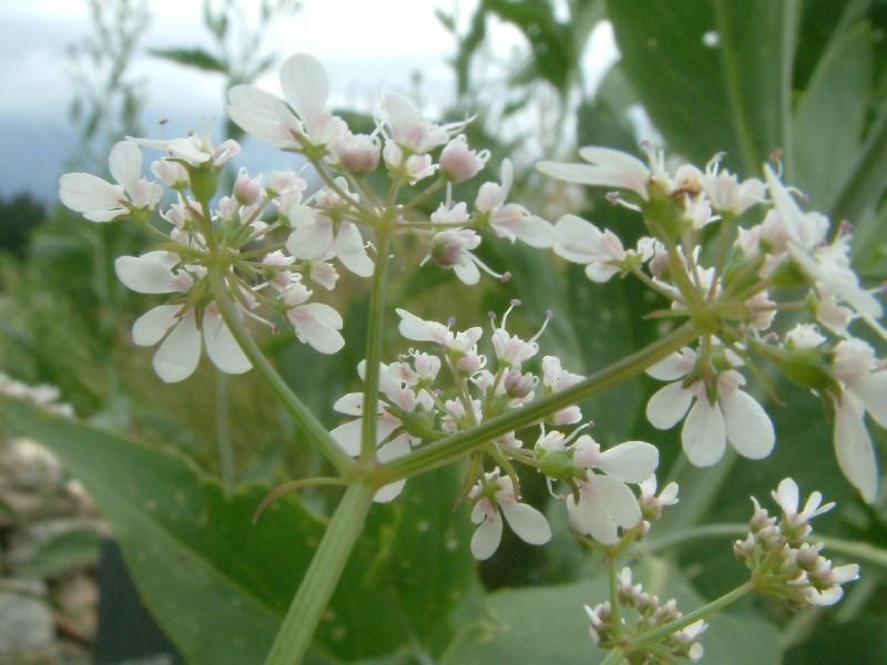 Coriandrum sativum 3