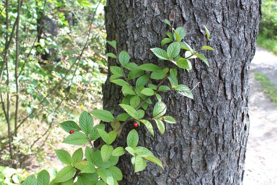 Cotoneaster bullatus 1