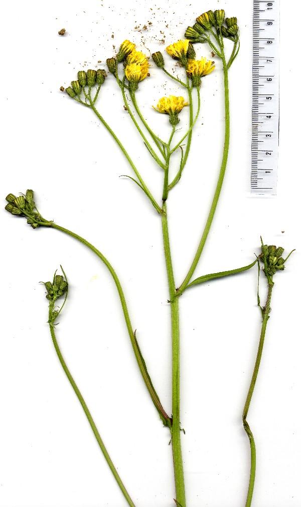 Crepis capillaris 5