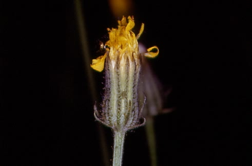 Crepis tectorum 2