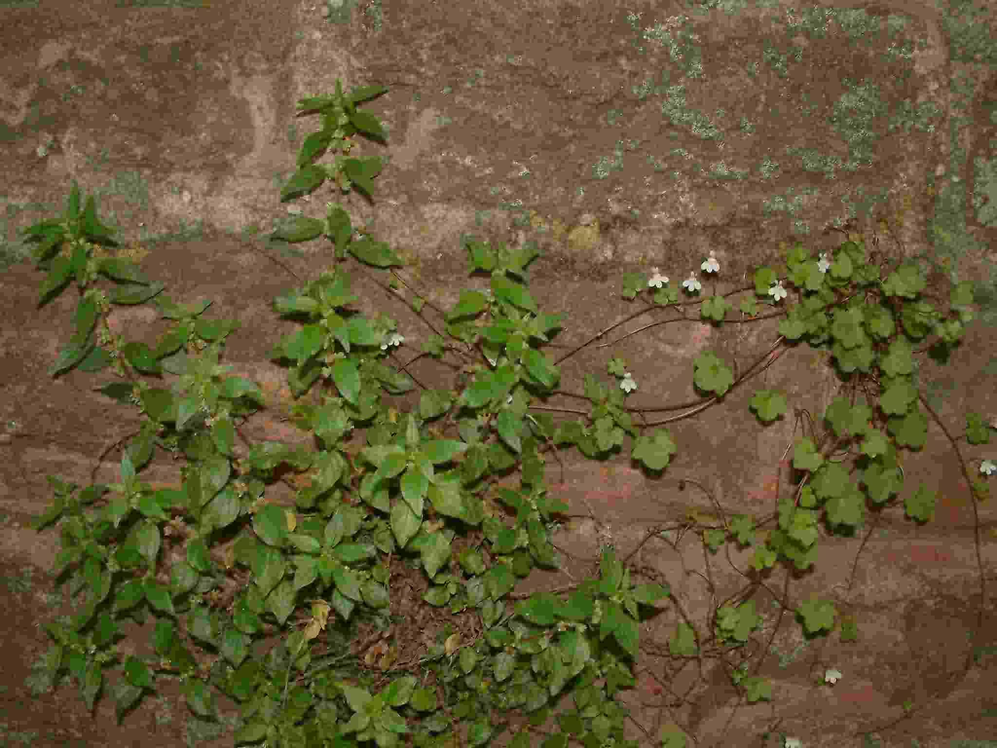 Cymbalaria muralis 1