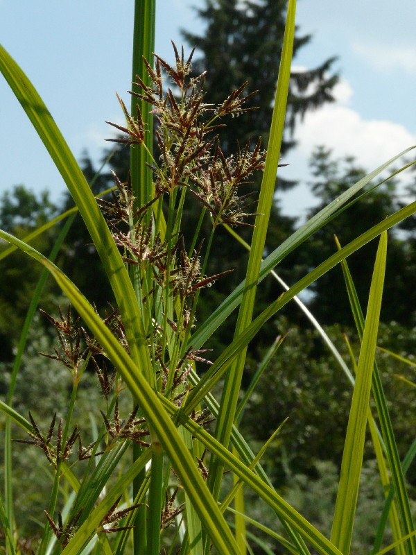 Cyperus longus 1