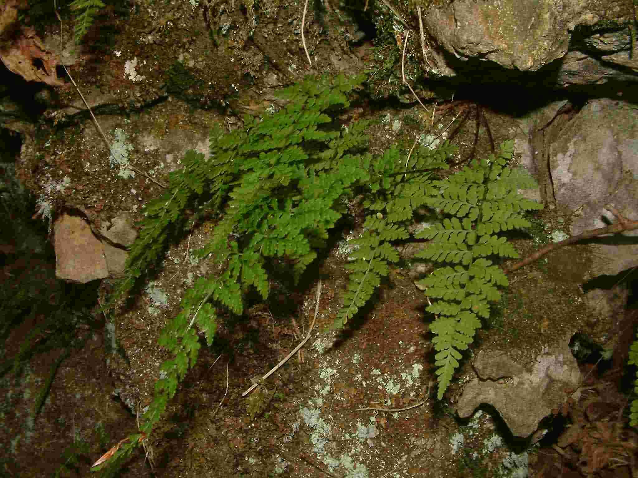 Cystopteris fragilis 1