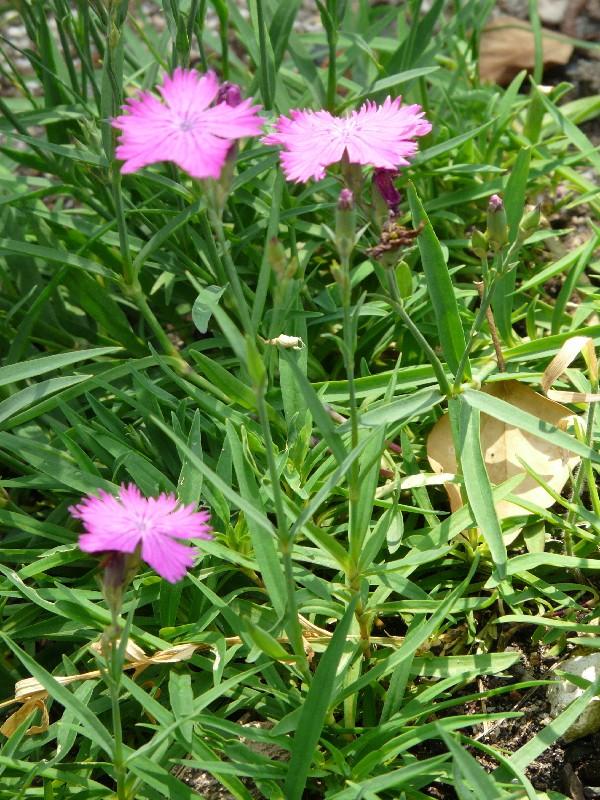Dianthus seguieri 1