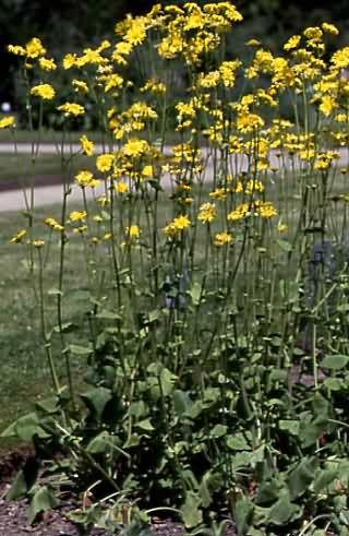 Doronicum pardalianches 1
