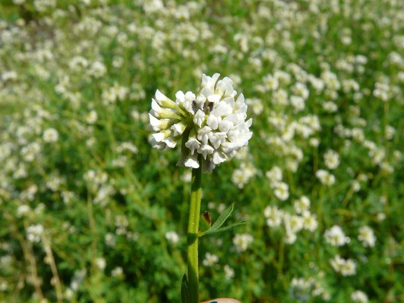 Dorycnium herbaceum 1