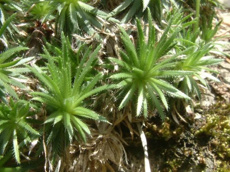 Draba aizoides 2