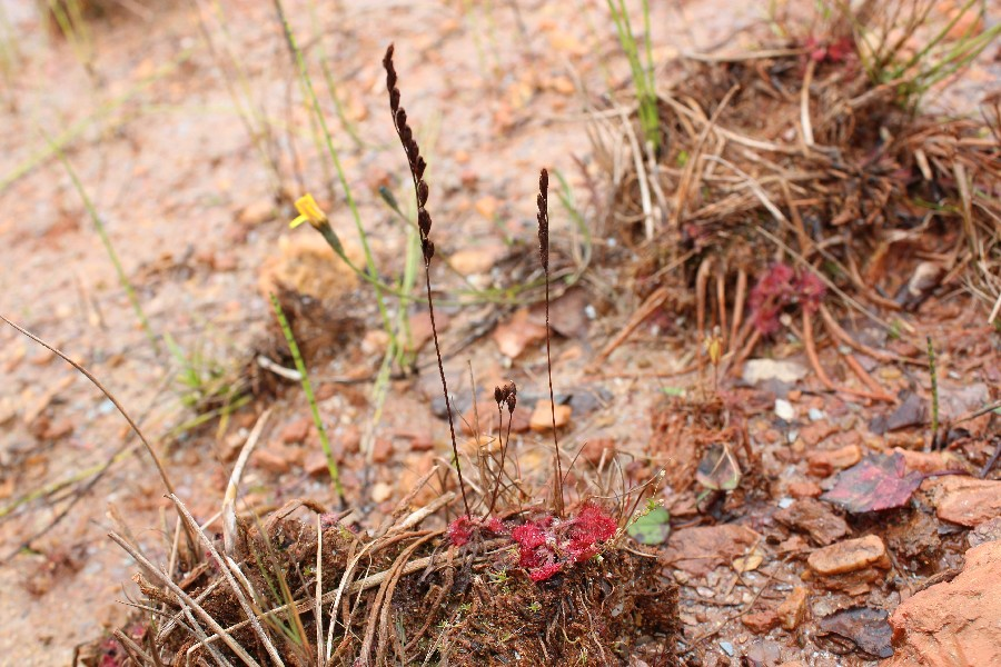 Drosera rotundifolia 2