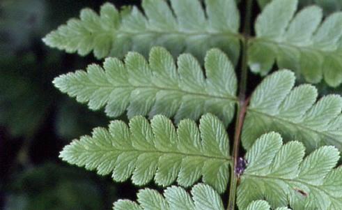 Dryopteris cristata 1