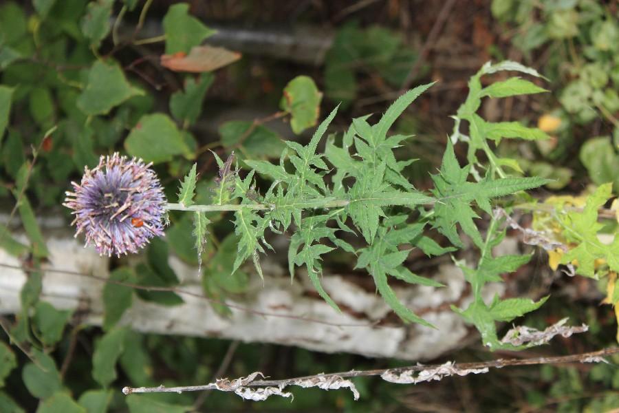 Echinops bannaticus 1