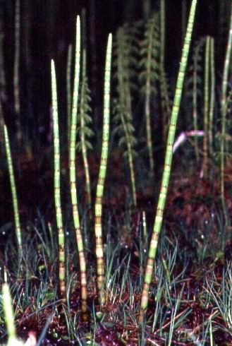 Equisetum fluviatile 2