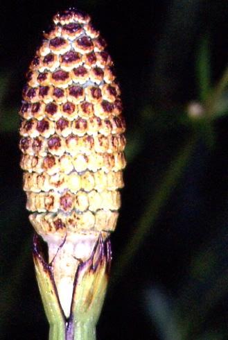 Equisetum fluviatile 4