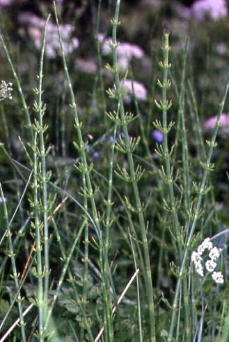 Equisetum fluviatile 3