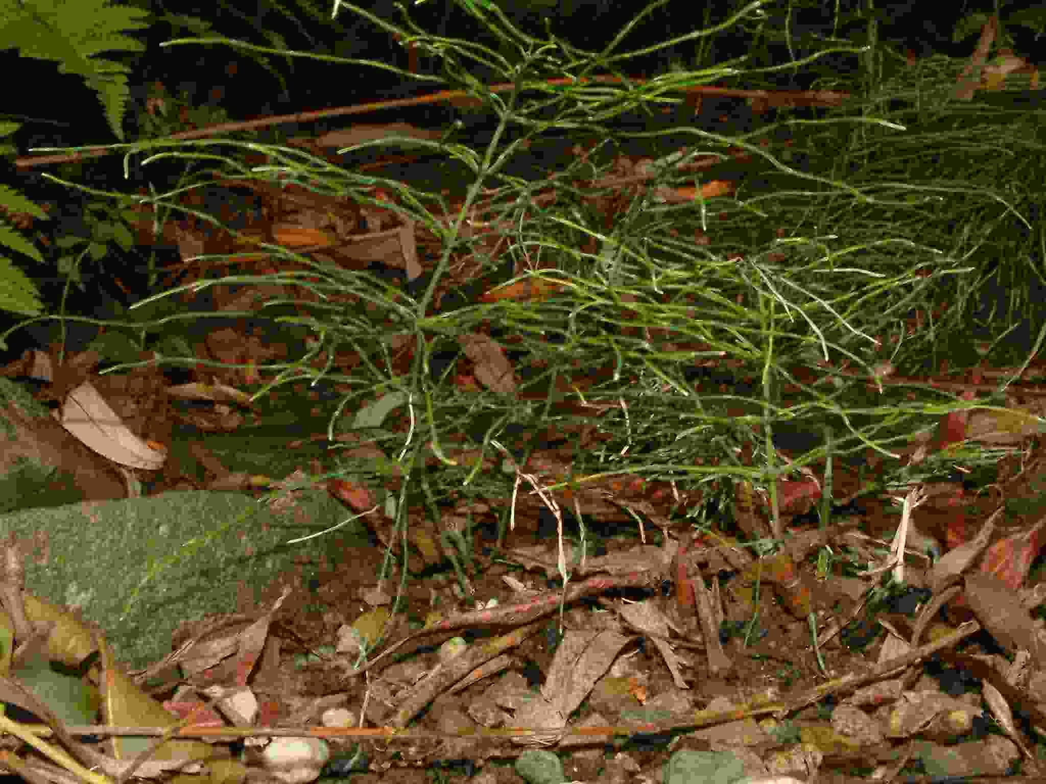 Equisetum pratense 1