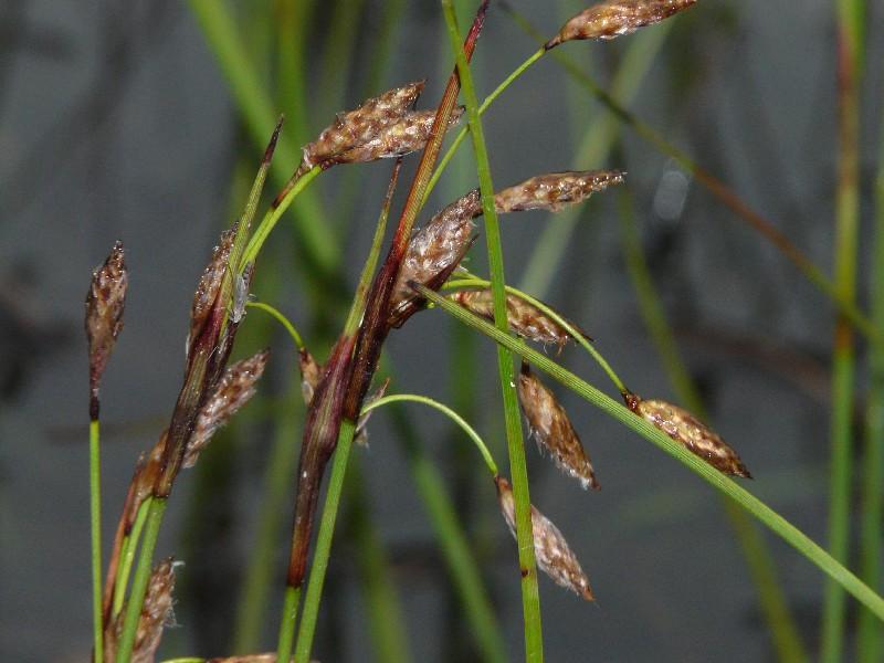 Eriophorum angustifolium 3