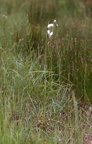 Eriophorum latifolium 1