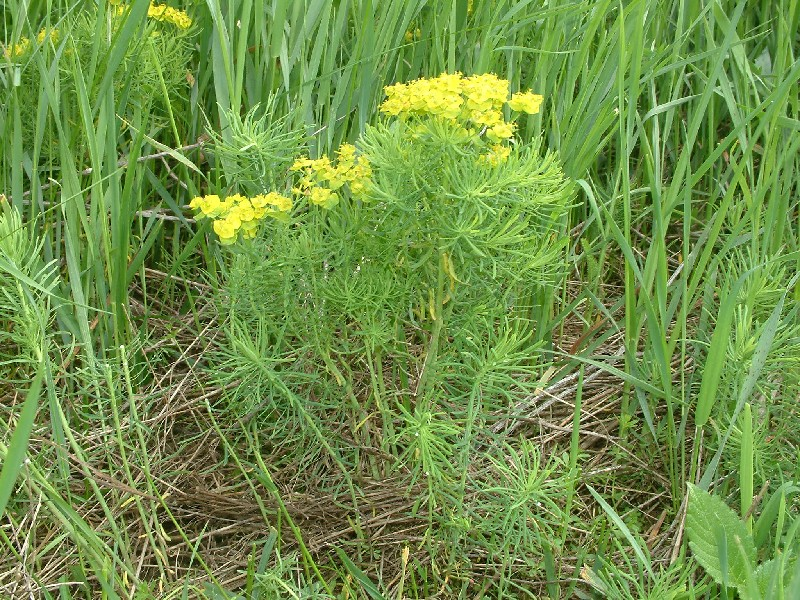 Euphorbia cyparissias 1