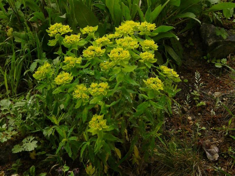 Euphorbia epithymoides 1