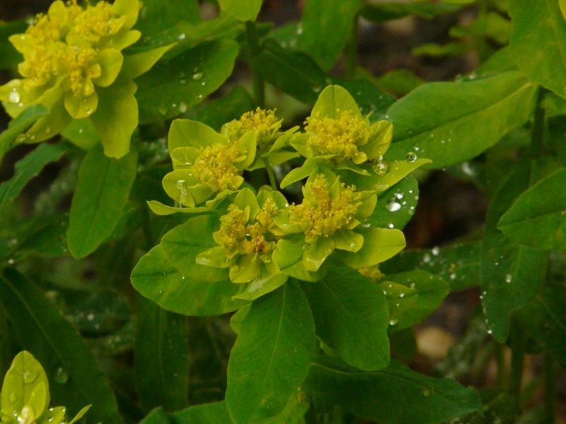 Euphorbia epithymoides 2