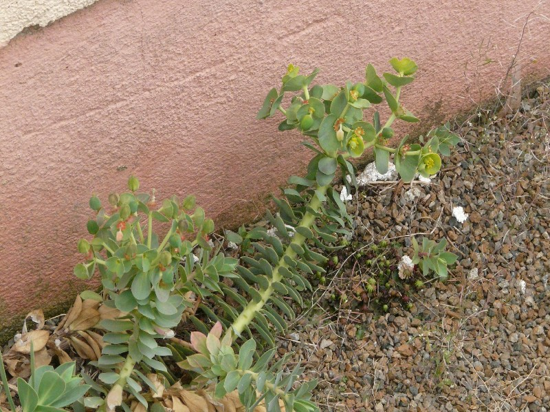 Euphorbia myrsinites 1