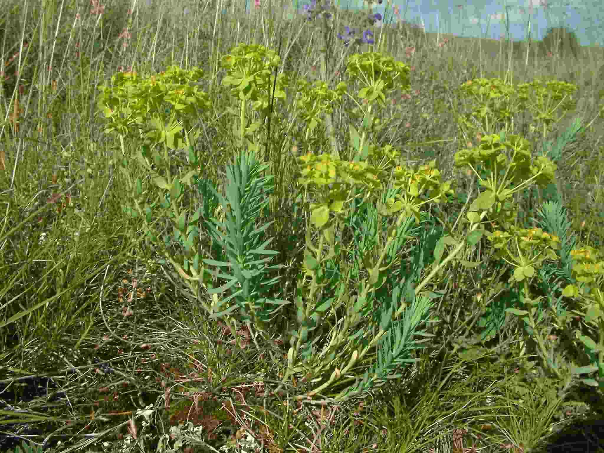 Euphorbia seguierana 1