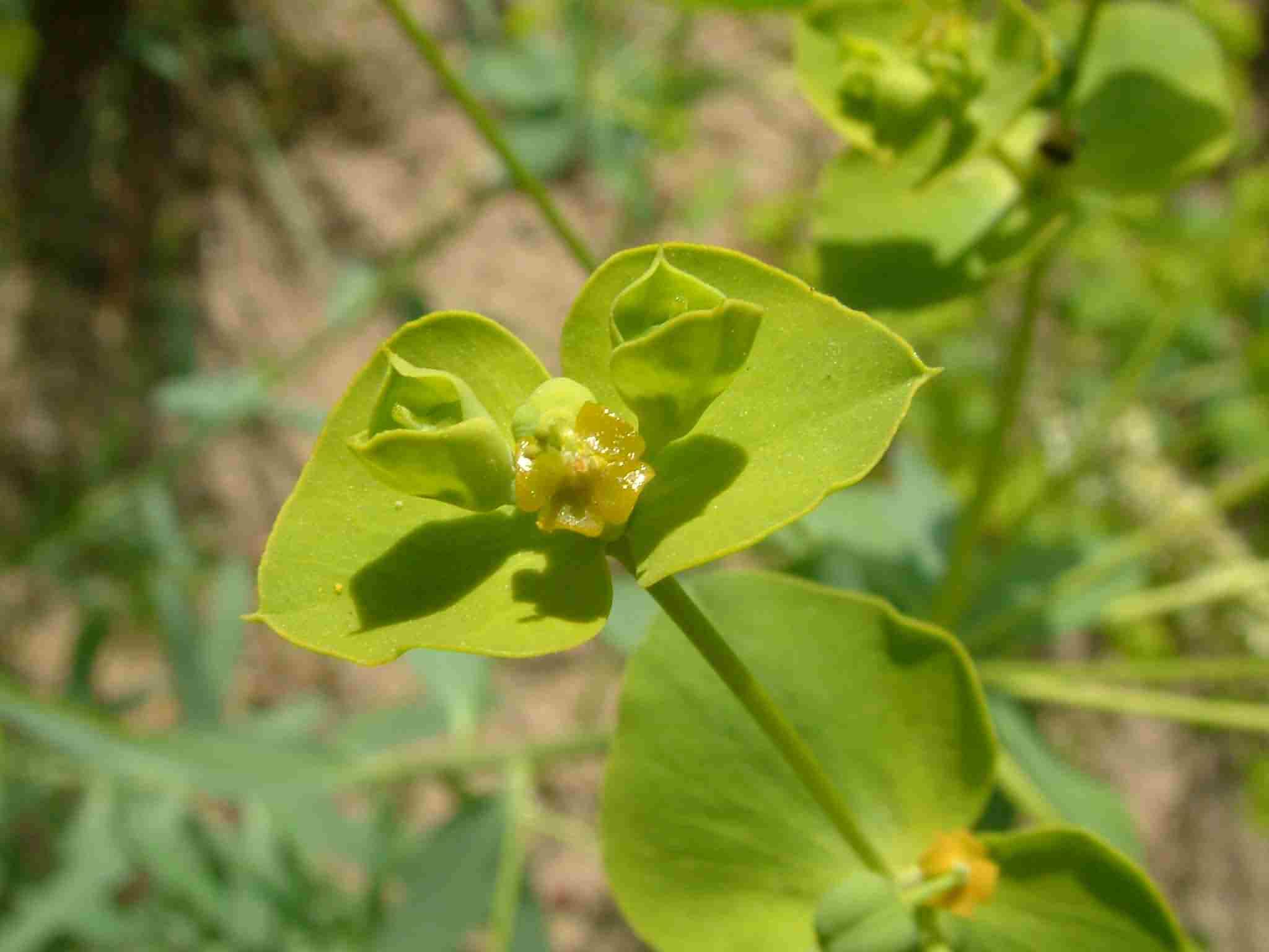Euphorbia seguierana 3