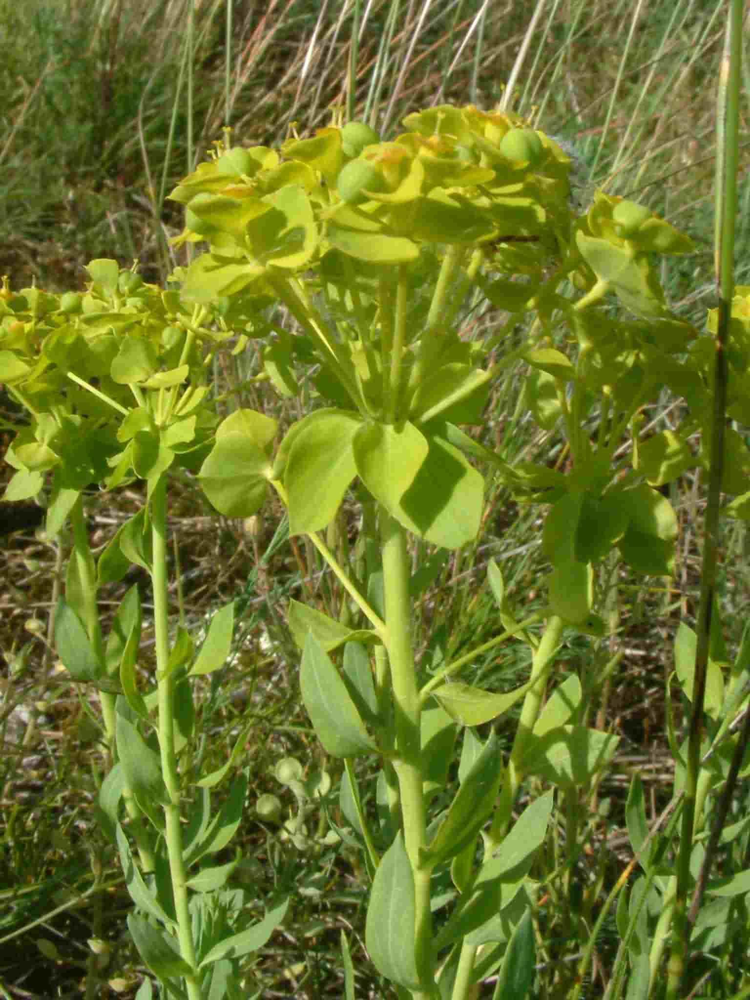 Euphorbia seguierana 2