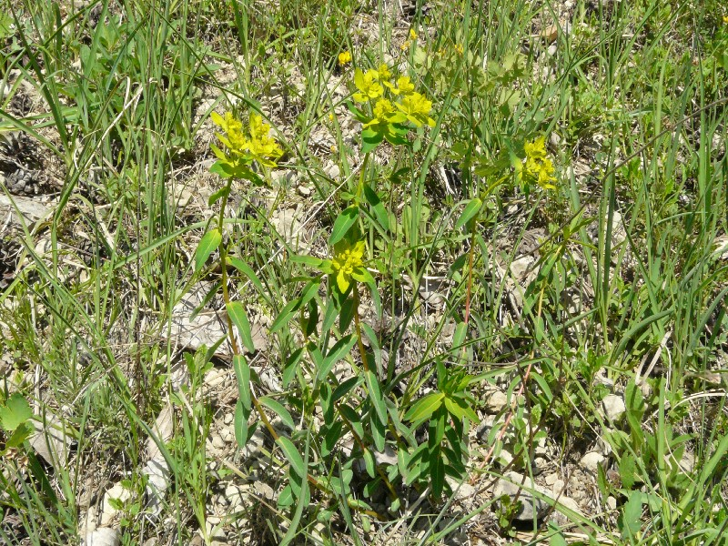 Euphorbia verrucosa 1