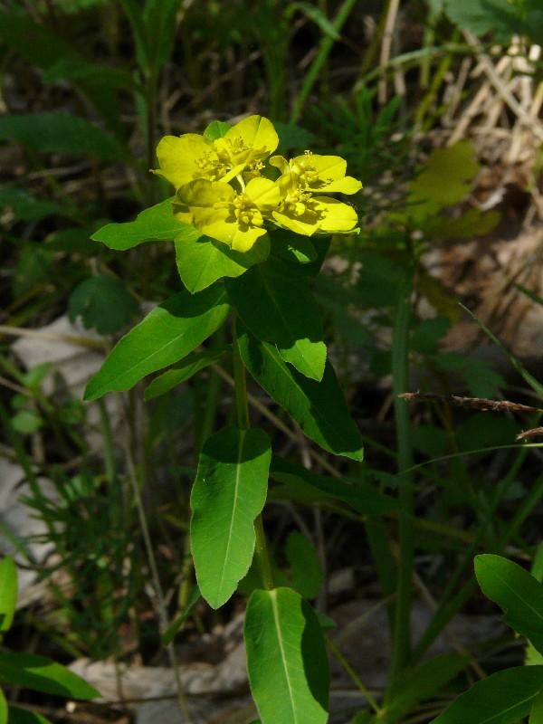 Euphorbia verrucosa 2