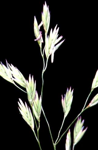 Festuca altissima 2