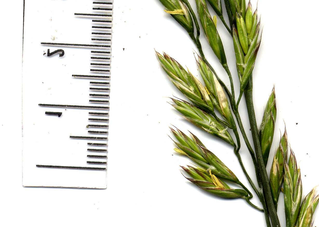 Festuca arundinacea 2