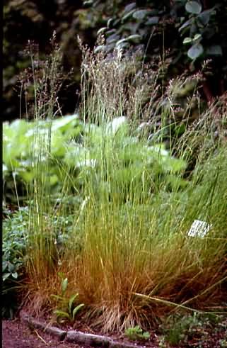 Festuca heterophylla 1