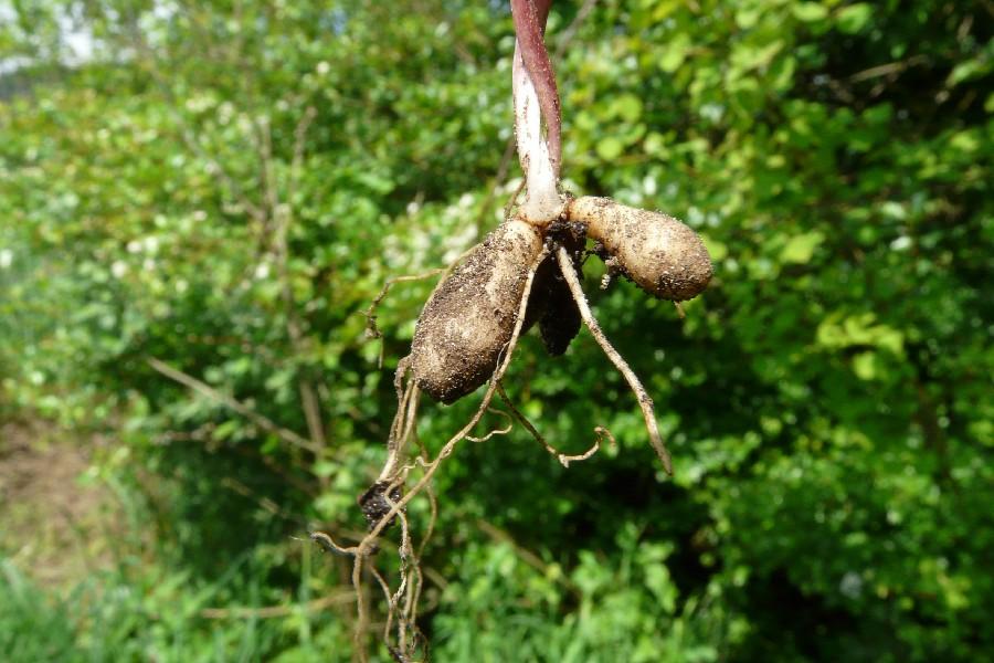 Ranunculus ficaria 4